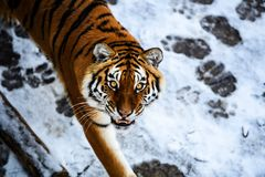 Tigre bonito de Amur na neve Tigre na floresta do inverno imagem de stock royalty free