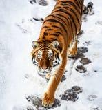 Tigre bonito de Amur na neve Tigre na floresta do inverno foto de stock royalty free