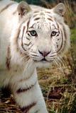Tigre branco Imagens de Stock Royalty Free