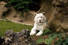 Tigre branco Imagem de Stock