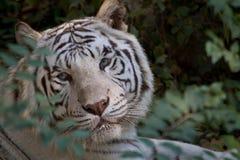 Tigre branco Fotografia de Stock Royalty Free