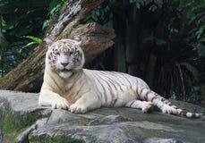 Tigre branco Fotos de Stock