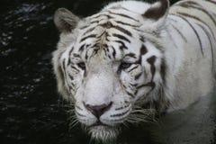Tigre branco Imagem de Stock Royalty Free