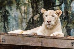 Tigre branco. Imagem de Stock Royalty Free