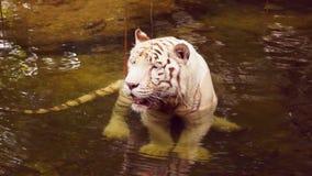 Tigre branco video estoque