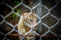 Tigre branco Fotos de Stock Royalty Free