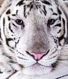 Tigre branco Foto de Stock Royalty Free