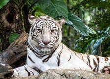 Tigre branco Imagens de Stock
