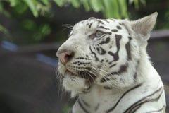 tigre branco animal Imagem de Stock