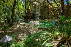 Tigre branco atrás da cerca de fio Imagem de Stock Royalty Free