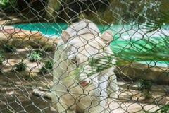 Tigre branco atrás da cerca de fio Fotos de Stock Royalty Free