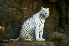 Tigre branco bonito que descansa em seus pés traseiros que olham a infinidade imagem de stock royalty free
