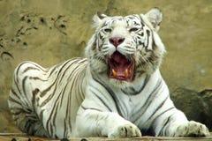 Tigre branco com boca aberta Fotografia de Stock Royalty Free