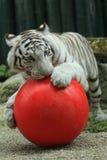 Tigre branco com bola Fotos de Stock