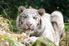 Tigre branco com grama na boca Fotografia de Stock Royalty Free