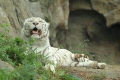 Tigre branco de encontro Fotografia de Stock