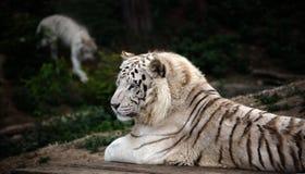 Tigre branco de encontro em Dalian Forest Zoo foto de stock
