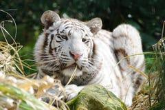 Tigre branco na luz solar Fotos de Stock