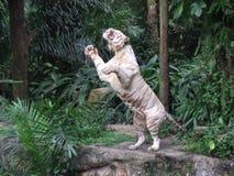 Tigre branco no jardim zoológico de Singapura Imagens de Stock Royalty Free