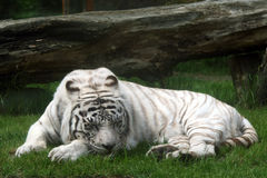 Tigre branco (panthera tigris) Fotografia de Stock Royalty Free