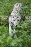 Tigre branco Prowling Fotografia de Stock Royalty Free