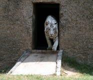 Tigre branco que sai Imagem de Stock
