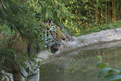 Tigre caché photo stock