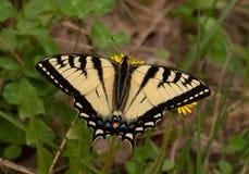 Tigre canadense Swallowtail Foto de Stock Royalty Free