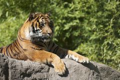 Tigre captif Photo libre de droits