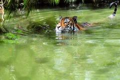 Tigre captif dans l'eau photo libre de droits