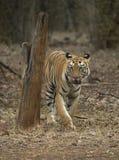 Tigre che cammina frontalmente davanti ad una l vehical nell'uguagliare le ore Fotografia Stock