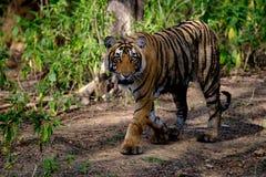 Tigre che cammina in legno Immagine Stock