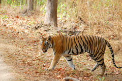 Tigre che cammina nella foresta Immagine Stock