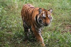 Tigre che cammina in una foresta verde Fotografia Stock Libera da Diritti