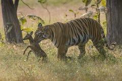 Tigre che cerca il Fawn macchiato dei cervi Fotografia Stock