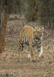 Tigre che esce dal legno davanti ad una l vehical nell'uguagliare le ore Immagini Stock