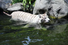 Tigre che guada nel flusso Fotografia Stock Libera da Diritti