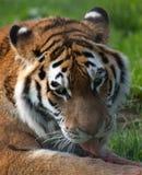 Tigre che lecca alimento Immagini Stock Libere da Diritti