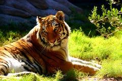 Tigre che prende il sole nel sole Immagini Stock Libere da Diritti