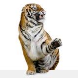 Tigre che ringhia fotografia stock libera da diritti