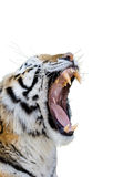 Tigre che ringhia Fotografie Stock Libere da Diritti