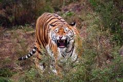 Tigre che rugge immagini stock libere da diritti
