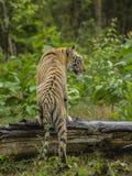 Tigre che scala un ceppo dell'albero Immagini Stock Libere da Diritti