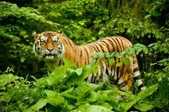Tigre che si leva in piedi negli alberi Immagini Stock