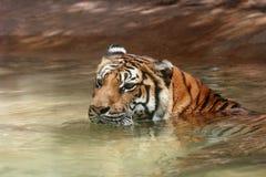 Tigre che si raffredda in acqua Fotografie Stock Libere da Diritti