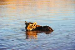 Tigre che si raffredda nell'acqua Immagine Stock Libera da Diritti