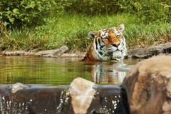 Tigre che si siede in acqua Immagine Stock