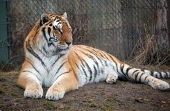Tigre che si situa intorno Fotografia Stock Libera da Diritti