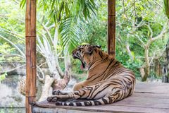 Tigre chez le safari et la Marine Park de Bali photos stock