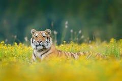 Tigre com flores amarelas Tigre Siberian no habitat bonito Tigre de Amur que senta-se na grama Prado florescido com anima do peri imagens de stock